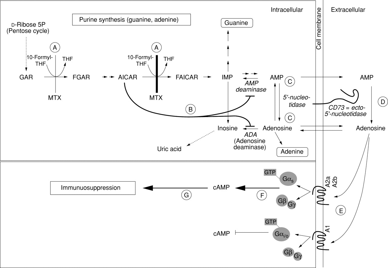 Anti-inflammatory mechanisms of methotrexate in rheumatoid ...