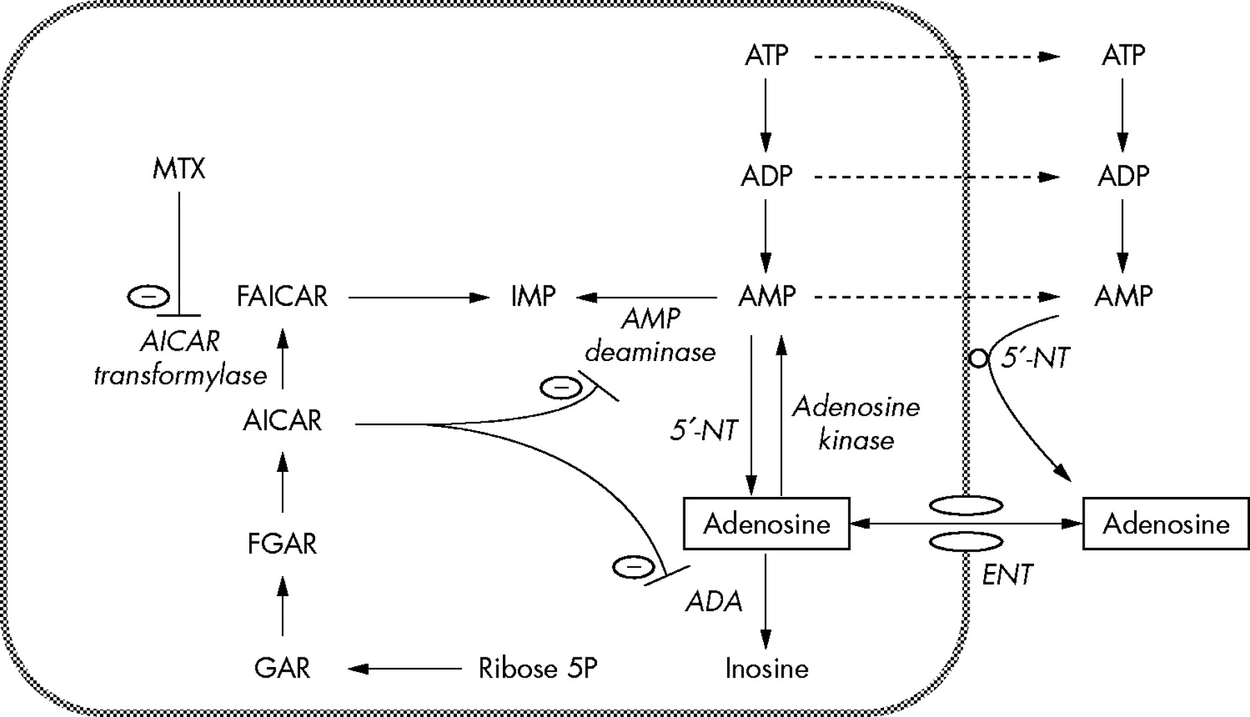 Methotrexate modulates the kinetics of adenosine in humans in vivo ...