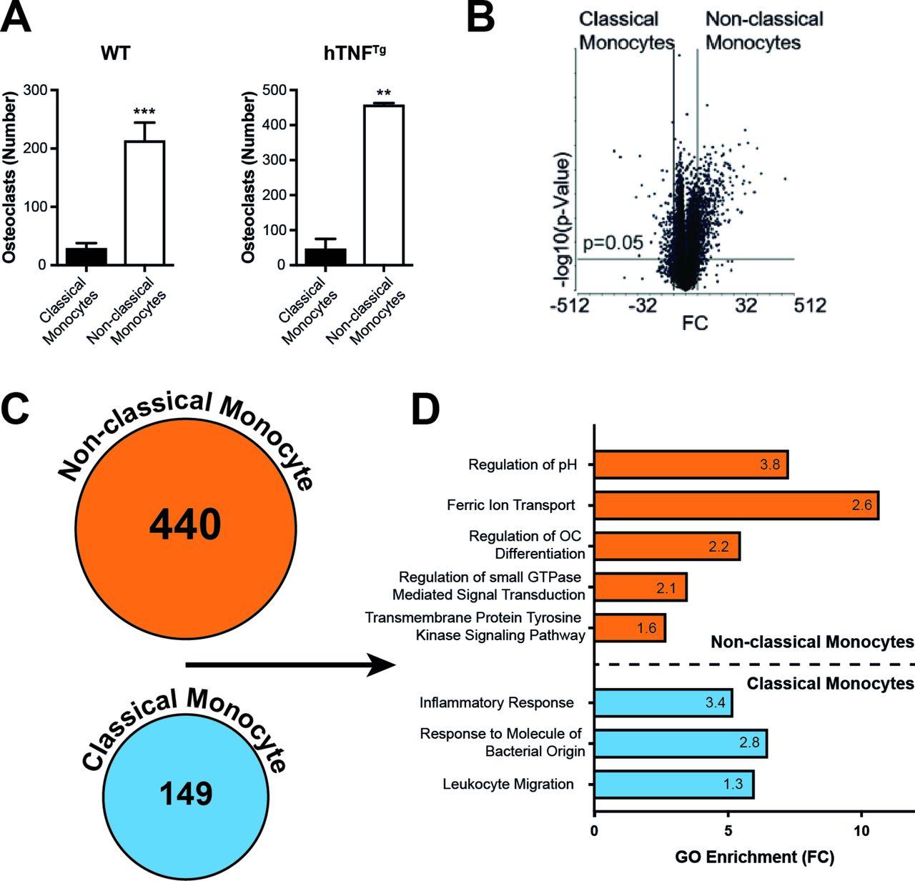 high osteoclastogenic potential of non-classical monocytes ex vivo