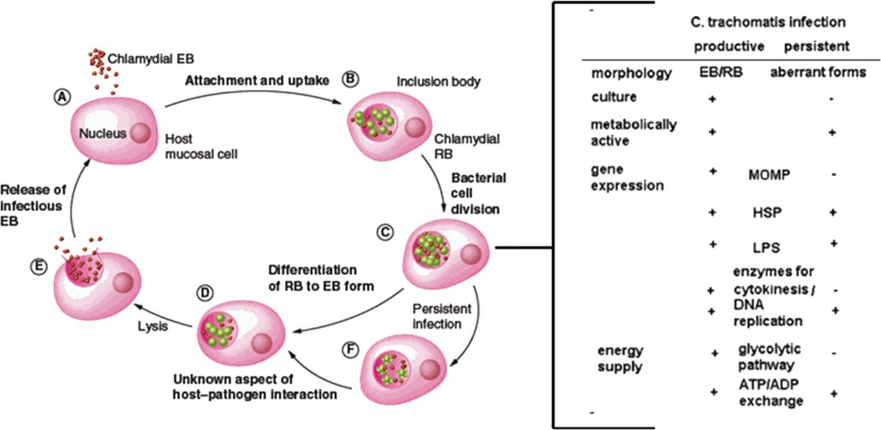 the main features of chlamydia Cervix cytology - chlamydia trachomatis  revised: 25 september 2017, last  major update october 2010 copyright: (c) 2006-2017,  clinical features.