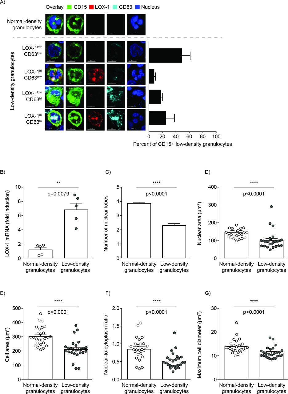 Low-density granulocytes activate T cells and demonstrate a